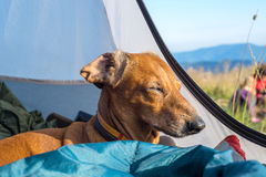 Funny small dog sleeps in the tent Royalty Free Stock Photos