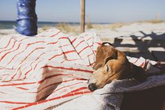 Funny small dog sleeps under a blanket, lying on the bungalow. Veranda next to the sea royalty free stock photos