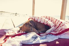 Funny small dog sleeps under a blanket, lying on the bungalow. Veranda next to the sea stock image