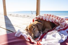 Funny small dog sleeps under a blanket, lying on the bungalow. Veranda next to the sea royalty free stock photography