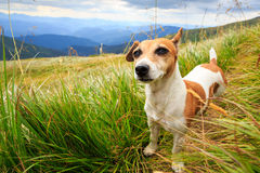 Funny small dog walking Royalty Free Stock Images