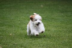 Funny small havanese puppy is running in the garden stock photo