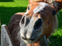The funny small horse (pony or foal). There is a small funny horse (pony) like as the donkey from  cartoon Shrek Royalty Free Stock Images