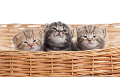 Funny small kittens in wicker basket stock images