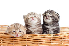 Funny small kittens in wicker basket Stock Image