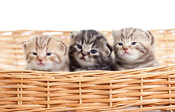 Funny small kittens in wicker basket royalty free stock image