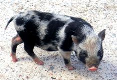Funny small pig Stock Image