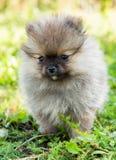 Pomeranian dog outside royalty free stock images