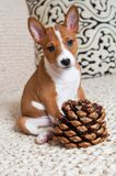 Small red Basenji dog puppy with big cedar cone royalty free stock photo