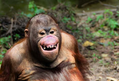 Funny smile orangutan monkey portrait Stock Photos