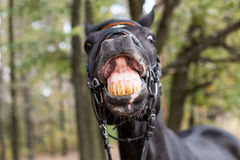 Funny smiling black horse Stock Images