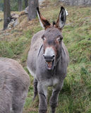 Funny and smiling donkey Stock Images