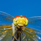 Funny Smiling Dragonfly Insect Portrait royalty free stock photography