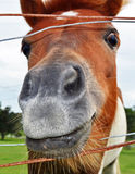 A Funny Smiling Face Horse Head Closeup of Nostril Royalty Free Stock Photography