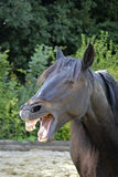 Funny smiling horse Stock Photos