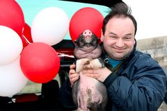 Funny smiling man holds a small pig in his hands. On the background of red and white helium balls outdoors, outside stock image