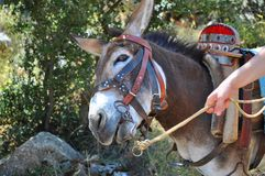 A funny smiling muzzle/face of a donkey Royalty Free Stock Photo