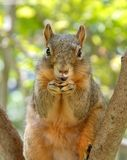 Funny Smiling Squirrel. Funny red squirrel smiling at the camera Stock Image