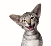 Funny smiling ugly meowing small kitten. Close up portrait. Funny smiling ugly meowing small kitten  Close up portrait isolated on white Stock Images