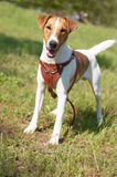 Funny Smooth Fox Terrier. On green grass stock photography