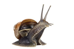 Funny snail Stock Image