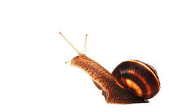 Funny snail. Isolated in white background Royalty Free Stock Image