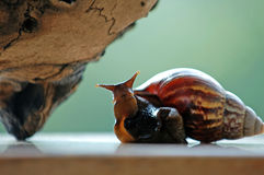 Funny snail Royalty Free Stock Photography