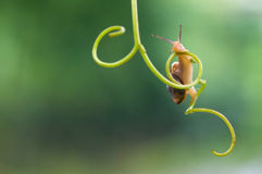 Funny snail. Common garden snail crawling on green stem of plant and unripe grapes stock photography