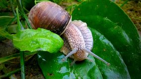 Funny snail. This is a funny snail, which stting on the leaf Stock Photos