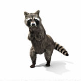 Funny sneaky conniving raccoon standing on his hind legs with its hands over its mouth laughing or taunting Royalty Free Stock Photos