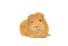 Funny snout guinea pig looks Royalty Free Stock Images