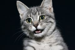 Funny snout muzzle. Cat face on a dark background. Funny pets Royalty Free Stock Photo