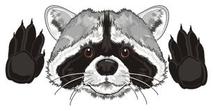Face of raccoon with paws. Funny snout of raccoon with two paws Stock Photos