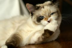 Funny snowshoe-ragdoll mix kitten Stock Photo