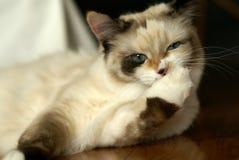 Funny snowshoe-ragdoll mix kitten stock photo