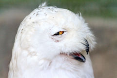 Funny snowy owl. Close up portrait of the Snowy owl Bubo scandiacus, native to Arctic regions in North America and Eurasia Royalty Free Stock Photography