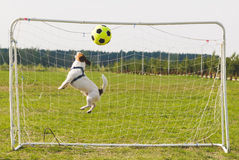 Funny soccer goalkeeper missing goal. Dog playing football a goalkeeper Royalty Free Stock Image