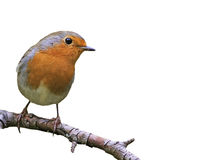 funny songbird Robin sitting on a branch Royalty Free Stock Images
