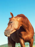 Funny sorrel  horse. Outdoor. Sunny day Royalty Free Stock Images