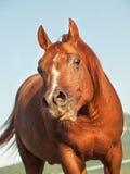 Funny sorrel  horse in paddock Stock Image