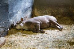 Funny South American tapir. Stock Photography