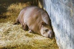 Funny South American tapir. Royalty Free Stock Image