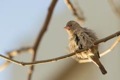 Funny Sparrow Royalty Free Stock Photo