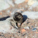 Funny sparrow on stones Royalty Free Stock Image