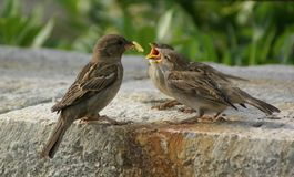 Funny sparrows stock photography