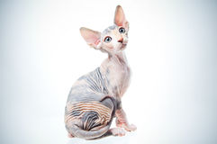 Funny sphinx cat. Looking up, isolated in studio Stock Photography