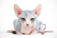 Funny sphinx cat. Looking tired Royalty Free Stock Photography