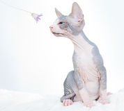 Funny sphinx cat with flower stock images