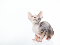 Funny sphinx cat looking up Stock Image
