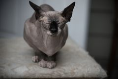 Funny sphinx cat portrait indoors medium shot shallow depth of field stock image